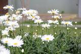 Muchas flores blancas