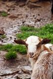 Cabrito de cabra serrana en Huelva. - 231550675