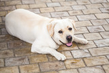 Yellow Labrador Retriever lays on stones - 231553294