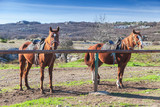 Two saddled red horses stand tethered - 231553418