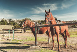 Two saddled red horses stand tethered - 231553448