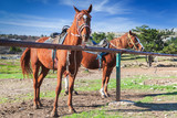 Two saddled red horses stand near fence - 231553464
