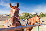 Close-up portrait of two red horses - 231553496