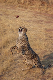 Cheetah in Namibia - 231553815