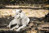 Polarwolf im Schatten  - 231565282
