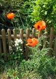 Mohn blüht am Gartenzaun