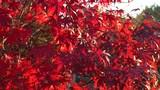 blutrote Blätter des Japanischer Ahorn (Acer japonicum) oder Thunbergs Fächer-Ahorn im Herbst - 231569220