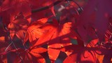 blutrote Blätter des Japanischer Ahorn (Acer japonicum) oder Thunbergs Fächer-Ahorn im Herbst - 231569474