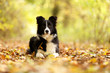 Leinwandbild Motiv Border Collie im Herbstwald