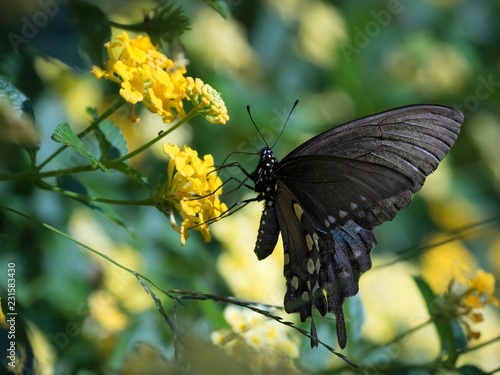Brown Swallow Tail Butterly Feeding - 231583430