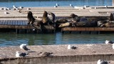 4K HD video of Sea Lions hauled out on wood platforms. Rather than remain in the water, pinnipeds haul-out onto land or sea-ice for reasons such as reproduction and rest. - 231591062
