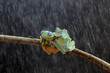 Wallace's flying frog, tree frog on a branch