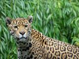 Jaguar - 231607873