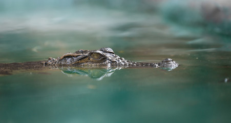 crocodile face and reflection in  water © anankkml