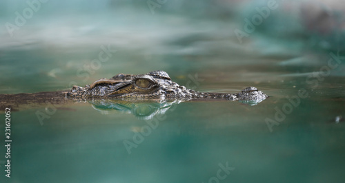 crocodile face and reflection in  water - 231612052