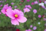 コスモス 秋桜 © カリン