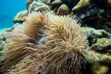 Clown fish in Anemone - 231625846