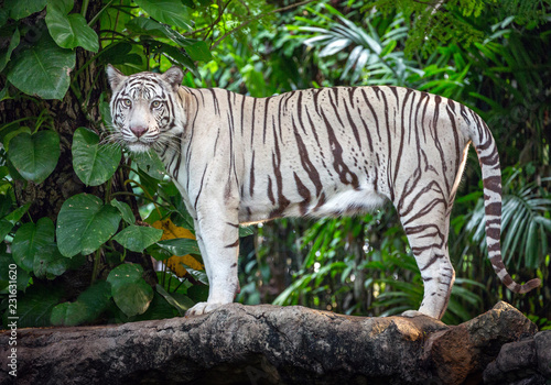 Wall mural White Tiger is resting in a wild forest.