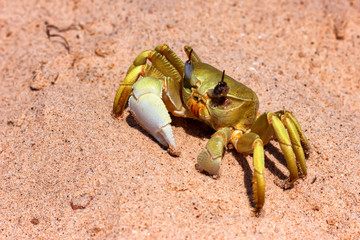 Close up image of yellow crab on sand