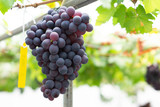 Closeup red wine grapes braches in vineyard with over light, selective focus