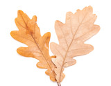 autumn oak leaves on a white background