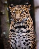 Leopard. Portrait image of Leopard (Panthera pardus), sitting. - 231649401