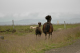 Iceland horses with nobody around staying relaxed in the countryside - 231651245