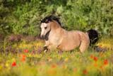 Beautiful pony run in poppy flowers