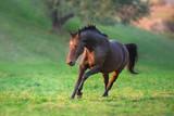 Bay horse run gallop in green meadow - 231660483