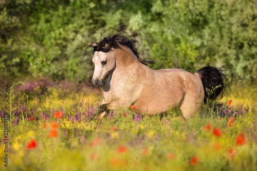 Leinwandbild Motiv Beautiful pony run in poppy flowers