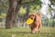 Golden Retriever playing Frisbee in the meadow