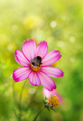 Pink cosmos flower and bee. Nature geen background.