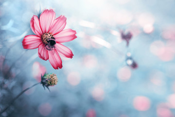 Pink cosmos flower and bee. Nature gray background.