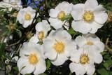 白いナニワイバラの花 - 231674417