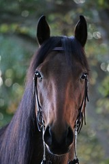 beautiful brown quarter horse is standing in the autumn forest and looking into the camera
