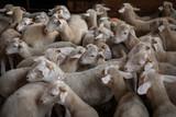 Agneaux serrés dans la bergerie, Pyrénées, France