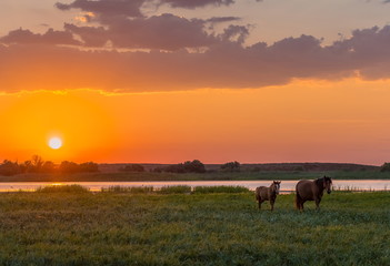 Horses in the meadow on the background of the sunset. Domestic animals graze in flood plains, on the river bank. Against the backdrop of the sunset.