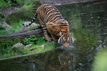 Sumatra-Tiger (Panthera tigris sumatrae) © Aggi Schmid