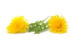 dandelion  flowers and leaves - 231701446
