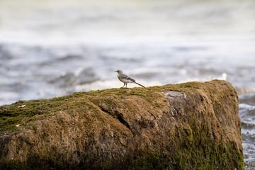 einsame Bachstelze auf einem Felsen