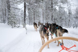 Husky dog sledding in Lapland, Finland - 231707061