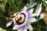 Bourdon sur une fleur de la passion - 231707226