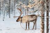 Reindeer in winter, Lapland, Finland - 231707261