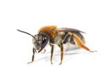 Female Mining Bee - 231712417