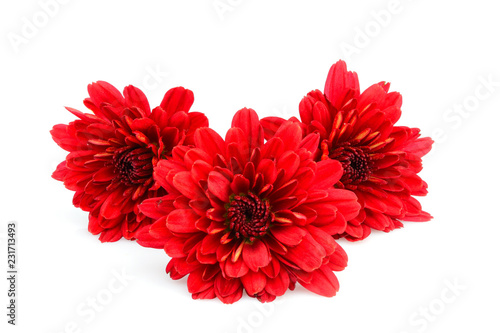 The red dahlias flowers isolated.