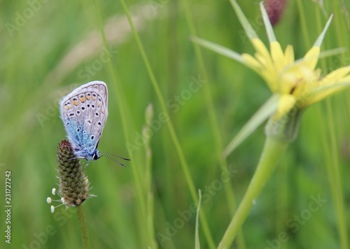 common blue butterfly - 231727242
