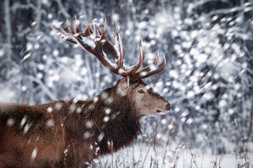 Noble deer male against the background of a beautiful winter snow forest. Artistic winter landscape. Christmas image. Winter wonderland. © delbars