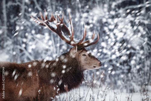 Noble deer male against the background of a beautiful winter snow forest. Artistic winter landscape. Christmas image. Winter wonderland.