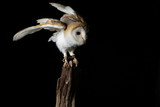 Barn owl - studio captured portrait
