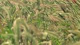 Grass field in wind, summer season countryside landscape - 231747437